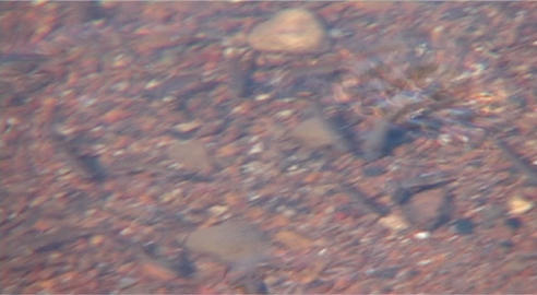 young freshwater fish frolic in the sun-warmed coastal riverbank Footage