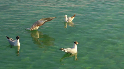 Seagulls Floating on the Water Footage