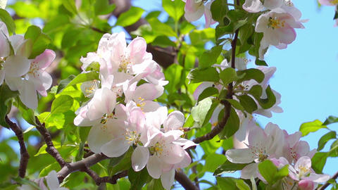 White Apple Tree Flowers Footage