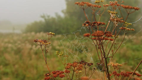 cobwebs with dew drops on the dry stalks Footage