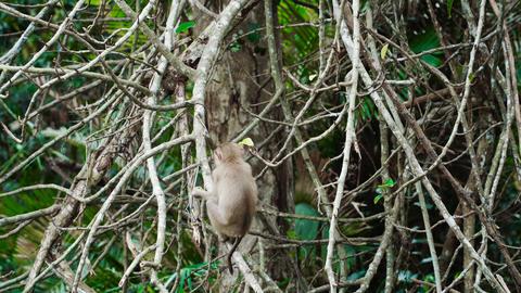 Monkey eating on a branch 影片素材