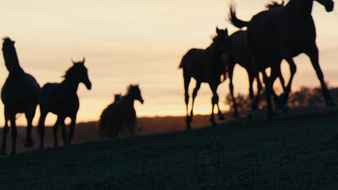 Herd of wild horses moving through the yellow hills, during pink sunset. Wild Footage