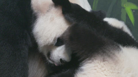 Panda family Stock Video Footage