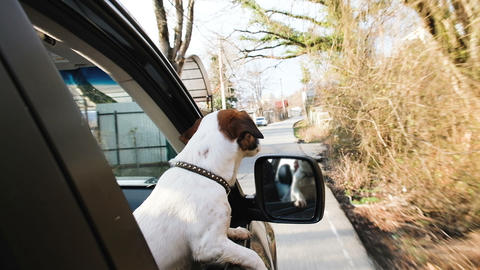 Happy small dog jack russell terrier rides in the car sticking his head out the Footage