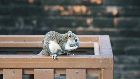 Large gray squirrel eating Live Action