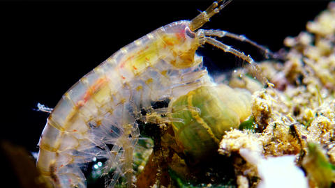 A small crustacean of the genus Gammarus, caught by a small Actinia Live Action