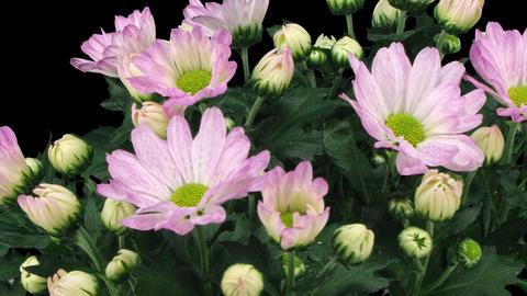 Time-lapse of opening pink chrysanthemum flower buds 3x3 (DCI-2K) Footage