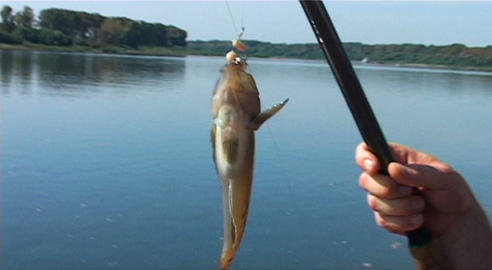 endangered rare species of freshwater fish Cottus Gobio entered in the Red Book Live Action