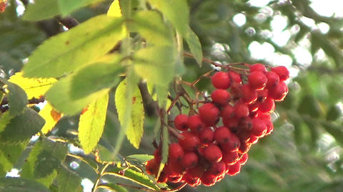 Closeup of orange Rowan berries or Mountain Ash tree with ripe berries in autumn Footage