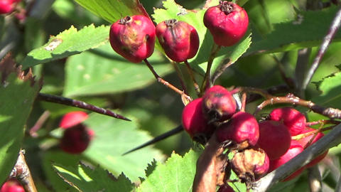 A wild red hawthorn berries shrub in autumn in Canada Footage