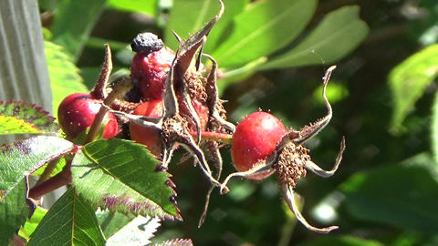 A Green Thorny Bush Of Withered Dried Red Wild Berries In Autumn In Canada stock footage