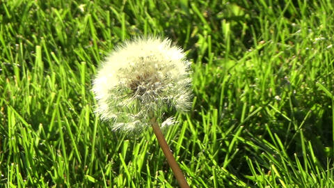 Dandelion Flower In The Green Grass Blowing In The Wind stock footage