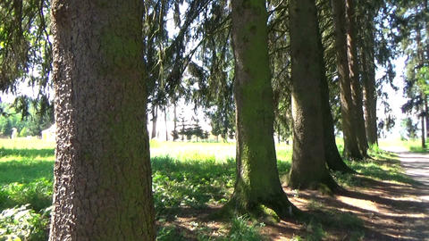 Panoramic view of a small secular forest in the summer Footage