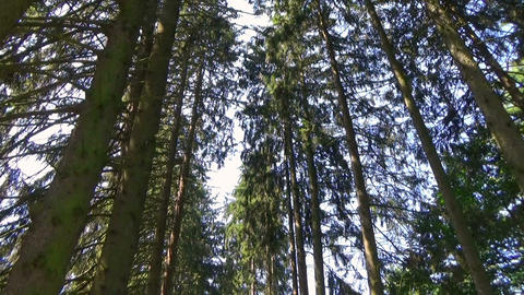 Vertical panoramic scene of an alley with tall secular trees in the summer Footage