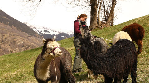Former with Lamas at fields Swiss Footage