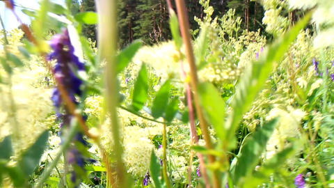Charming walk on flowering meadows in summer day Live Action