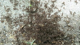 Super Busy Ant Workers Found Some Food Closeup 1 Stock Video Footage