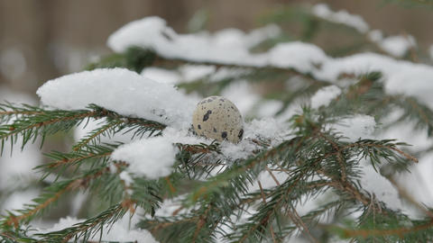 spruce branch covered with snow with a quail egg on it, close up Image