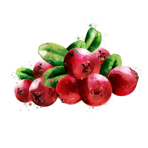 Cranberry on white background. Watercolor illustration フォト