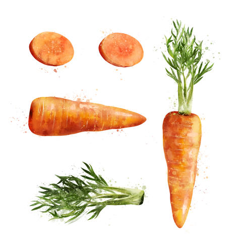 Carrot on white background. Watercolor illustration フォト