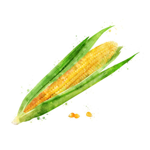 Corn on white background. Watercolor illustration フォト