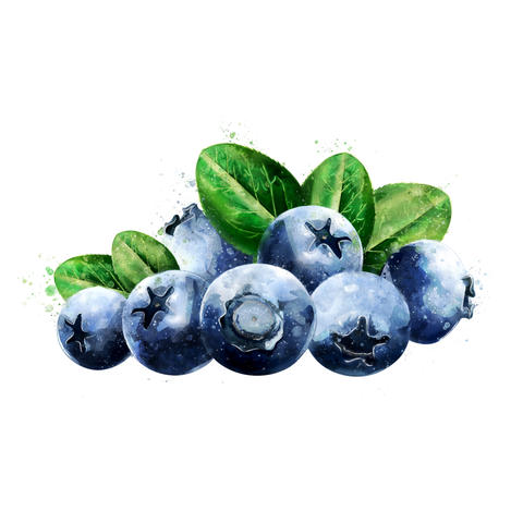 Blueberries on white background. Watercolor illustration フォト