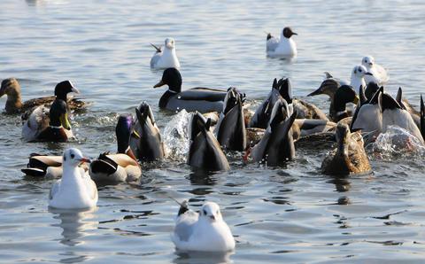 Birds of Ukraine. Swans, gulls and ducks - wintering waterfowl Fotografía