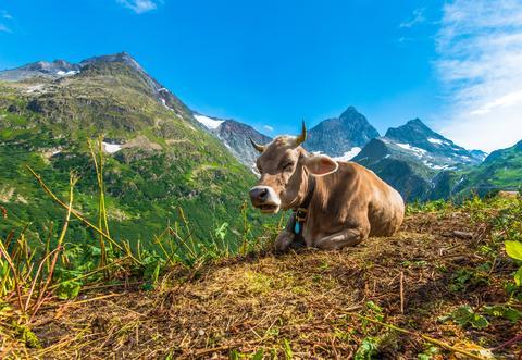 Alpine Region Cow Photo