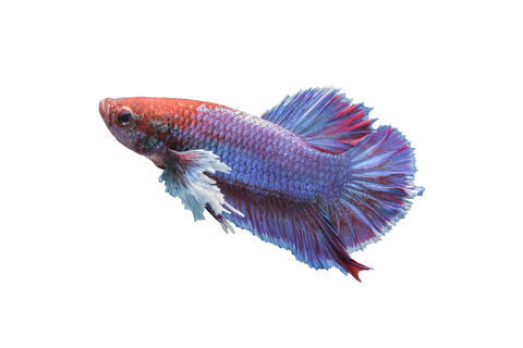 Betta fish isolated on white background フォト