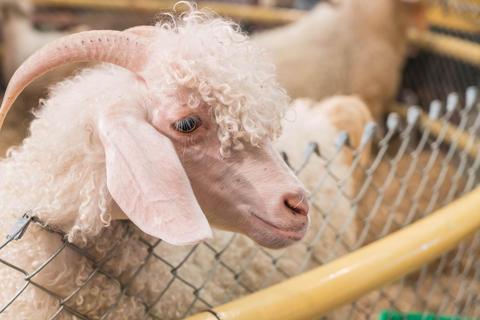 Bolivia goat in farm Photo