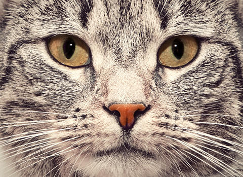 Cat face close up portrait Photo
