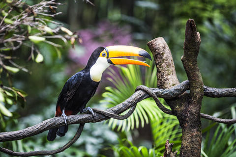Fantastic toucan on branch Photo