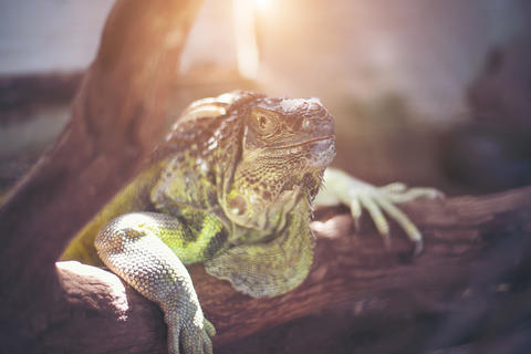 Giant lizard holding on the dead branch at the forest Photo