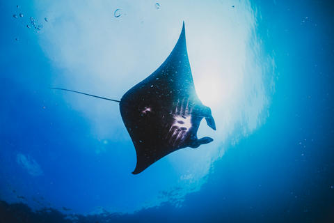 Silhouette of a Manta Ray Soars Overhead フォト