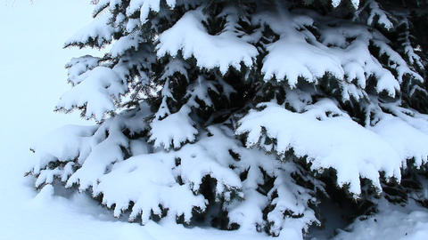 Fur-tree branch covered with snow. Christmas tree in snow in winter forest Footage