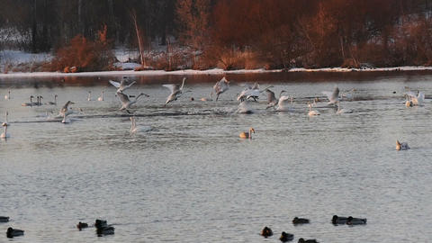 Big flock of swans landing to lake at twilight slow motion Footage