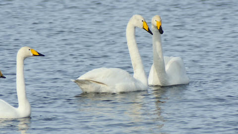 Couple of lovers swans on the lake slow motion Footage