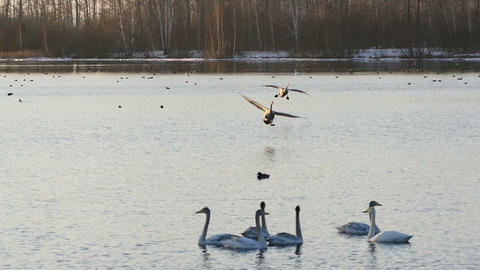 Couple of swans landing on the lake at sunset slow motion Footage