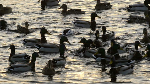 Flock of wild duck in water at twilight slow motion Footage