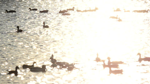 Flock of wild ducks on the lake at golden sunset slow motion Footage