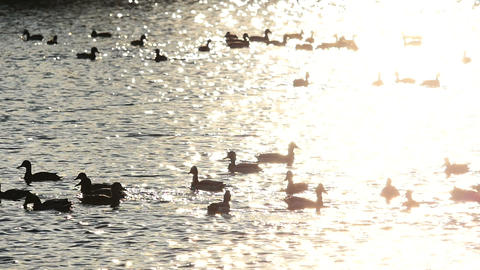Flock of wild ducks in golden sunset reflection on the lake Footage