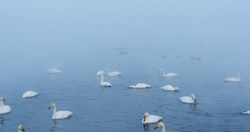 Swan Lake at morning mist Footage