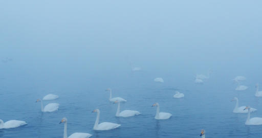 Swan Lake in the morning mist Footage
