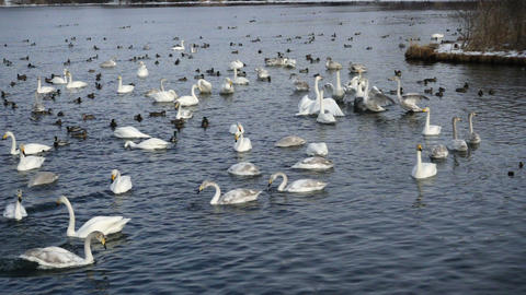 Swan Lake wings waving in slow motion Live Action