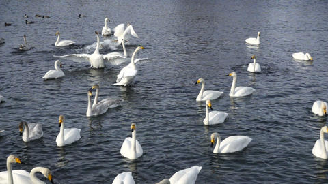 Swan flapping wings in the lake slow motion Footage