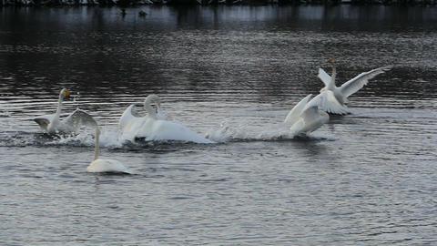 Swan runs along lake surface slow motion Live Action