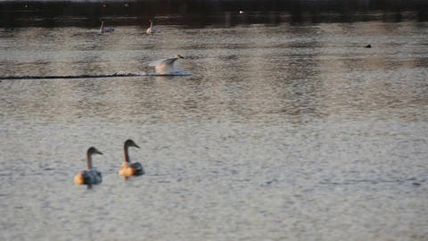 Swan run on the lake surface slow motion Footage