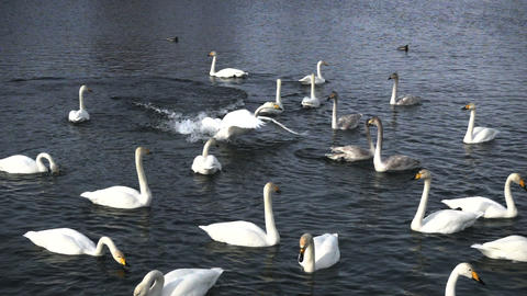 Swans Fight in super slow motion Footage