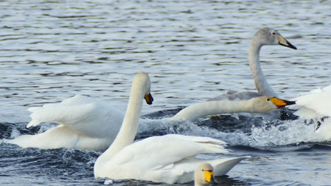 Swans Fight in water slow motion Footage