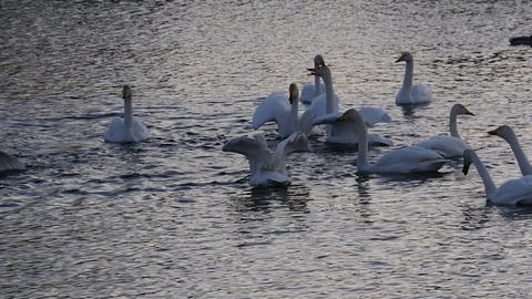 Swan sithoettes on the lake at twillight slow motion Footage
